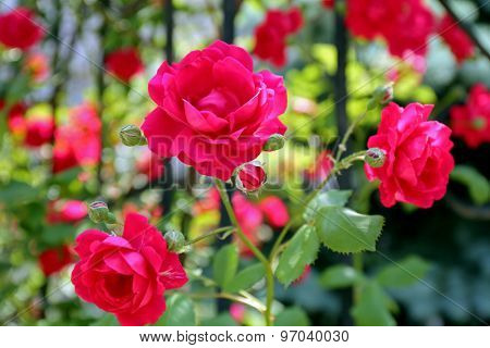 Beautiful pink roses over green leaves background
