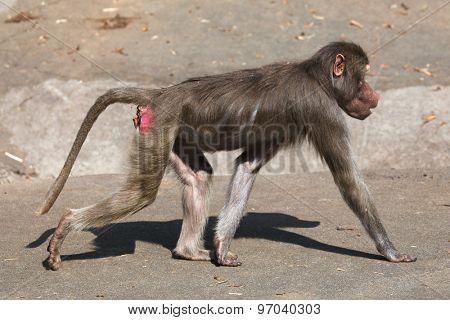 Young male Hamadryas baboon (Papio hamadryas). Wild life animal.