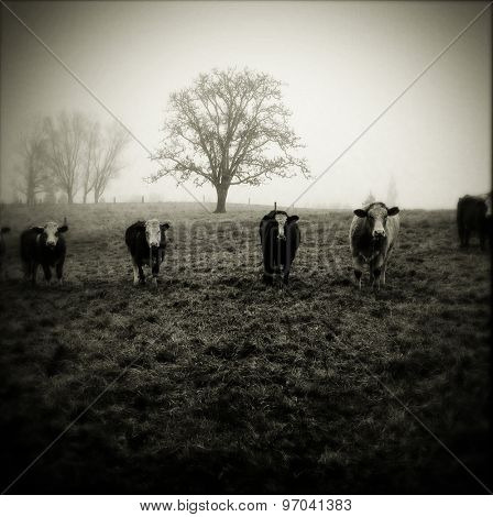Livestock facing camera, foggy morning