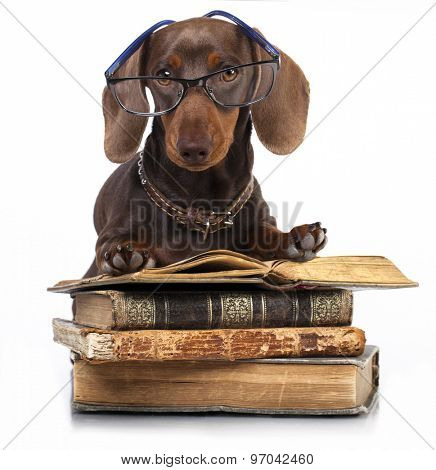 purebred  dachshund dog  in glasses and book