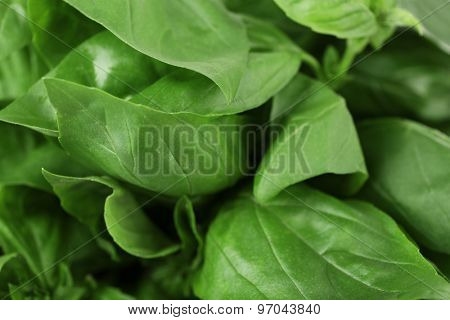 Green fresh leaves of basil close up