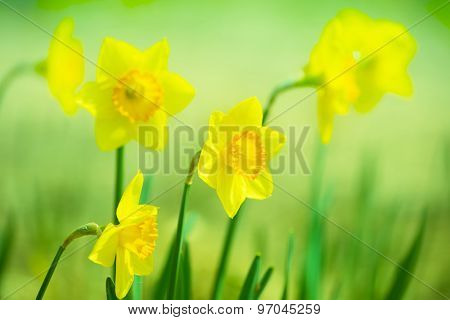Yellow Daffodils?(Narcissus) flower blooming in the garden. Extremely shallow depth of field for dreamy feel.