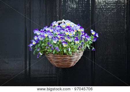 violet pansy flowers hanging in the pot