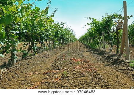 Vineyard plantation