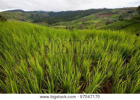 Green Rice Field In Moutain