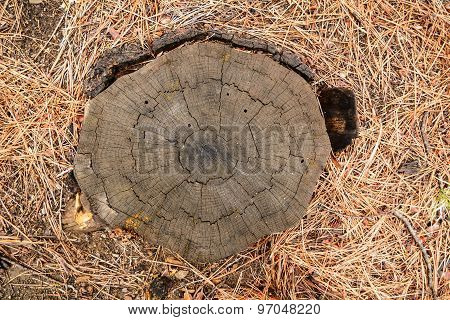 Stump Of A Pine Tree