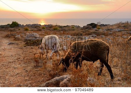 sheep and goat pasture over sunset