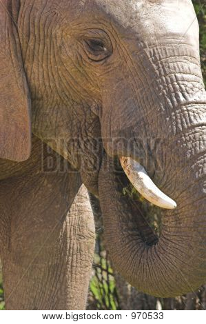 Young Elephant Bull1
