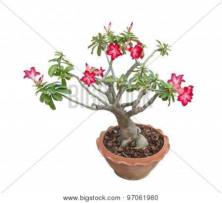 Adenium Obesum Tree Also Known As Desert Rose,  Tropical Tree In The North Of Thailand.