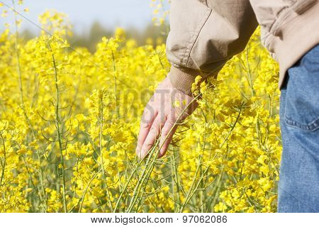 Man touching rapeseed flowers