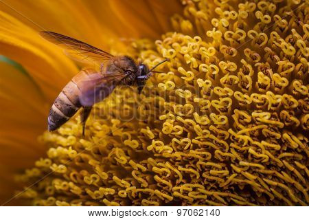 Honey Bee Works Over A Large Sunflower For Pollen.