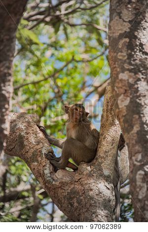 Little Monkey (crab-eating Macaque) ,Thailand