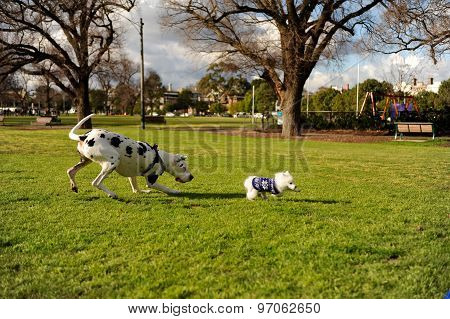 Dalmatian chasing a cute little Japanese spitz puppy