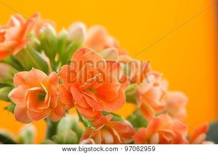 flowers of Kalanchoe. on a orange background.