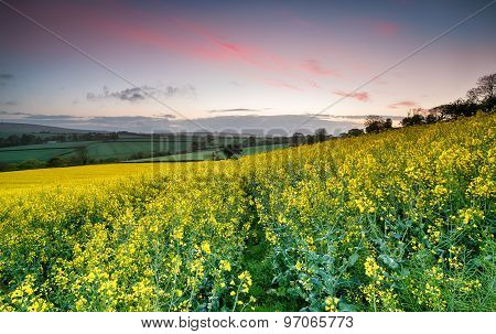 Sunrise Over Rapeseed Fields
