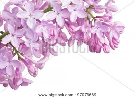 light lilac flower corner isolated on white background