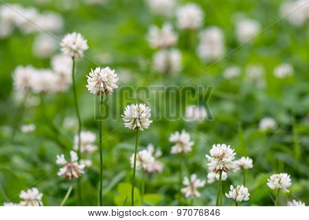 Closeup Blossoming Clover For A Natural Background