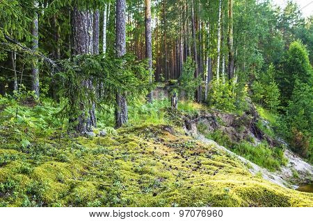 forest landscape with pine trees and moss