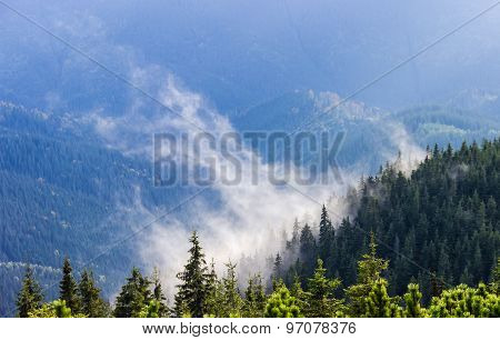 Low Located Cloud Among The Trees In A Spruce Forest On The Mountainside