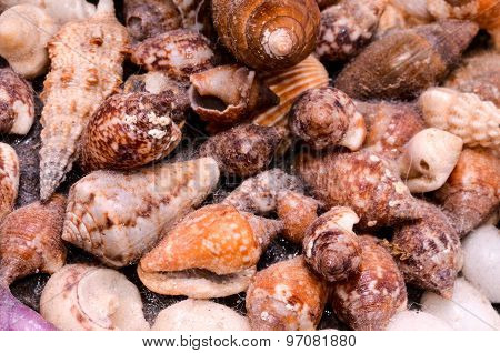 Background of sea shells