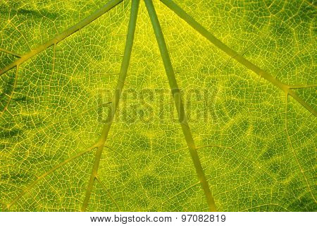 Texture Of Green Leaf.