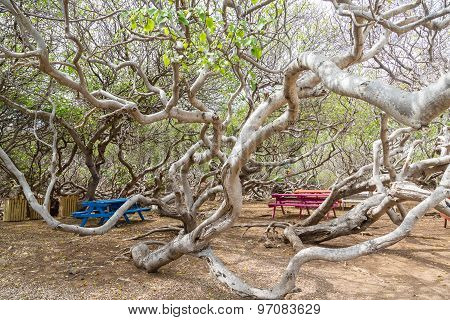 Colorful Picnic Tables Among Manchineel Branches