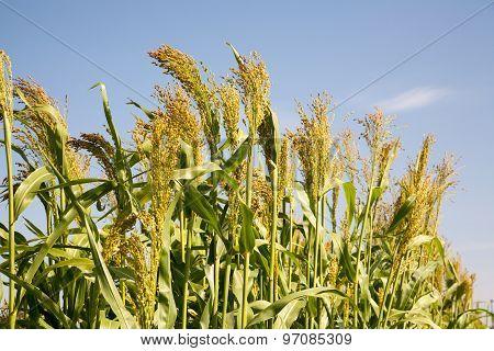 Millet Is Used As Food. Belongs To The Genus Sorghum.