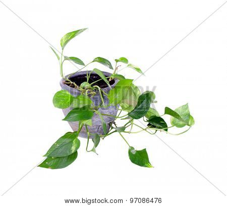 House plant in a pot isolated on white background