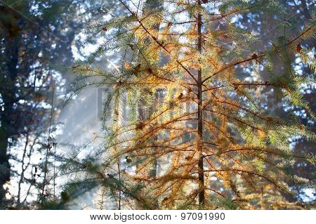 Coniferous Forest In Autumn