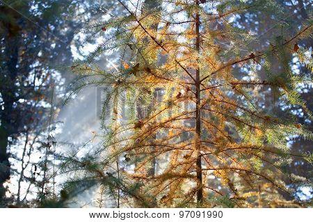 Coniferous Forest In Autumn