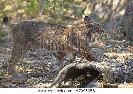 Iberian Lynx Side View