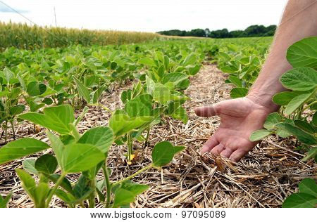 An innovative method of growing grain wheat soybeans corn. Hand men on the background field. Humus in the field with plants. A man checks the soil fertility and humus. Soil protection from sunlight.