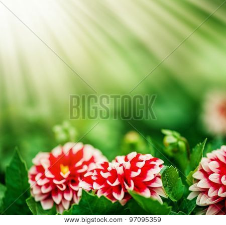 Pink Dahlia flower and sun lights