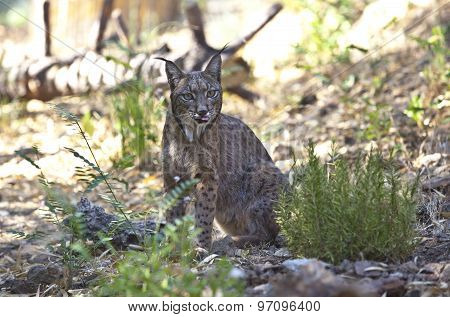 Iberian Lynx With Tonge Out