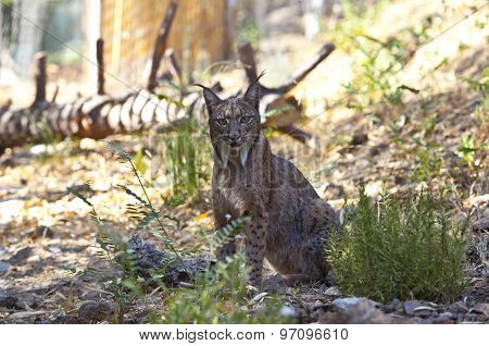 Iberian Lynx Staring To The Camera