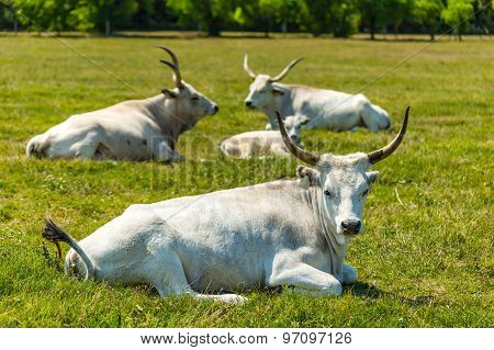 Hungarian Gray Cattle