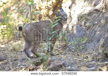 Iberian Lynx On Alert