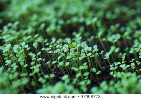 Macro Of Seedlings. Green Background.arugula Seedlings
