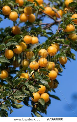 Ripe Yellow Plums On The Tree. Fruit Tree. Seasonal Harvest. Ukraine.
