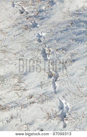 Traces Of An Animal In The Snow.