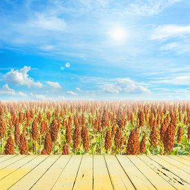 picture of sorghum  - image of sorghum field and clear blue sky for background usage - JPG