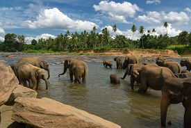 foto of indian elephant  - Heard of adult indian elephants bathing in water - JPG
