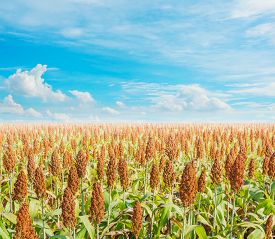 stock photo of sorghum  - image of sorghum field and clear blue sky for background usage - JPG