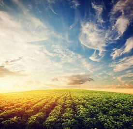 image of potato-field  - Potato crop field at sunset - JPG