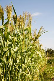 stock photo of millet  - Millet is used as food fodder and for producing alcoholic beverages - JPG