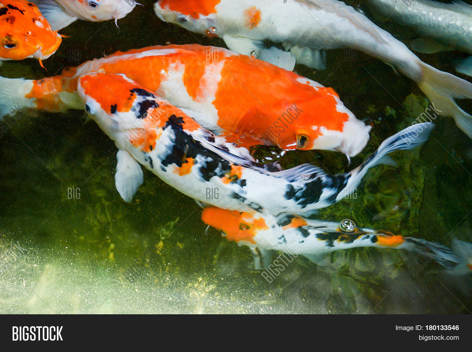 Freshwater fish koi - Colorful Fish Or Fancy Carp Freshwater Fish Of The Carp Fancy Carp Or Koi Fish Swimming