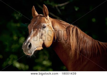 Red arabian horse portrait in dark