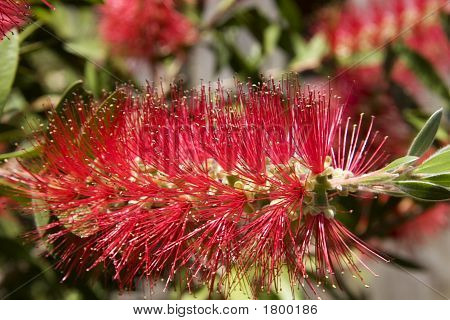 Red Bottlebrush Blooms