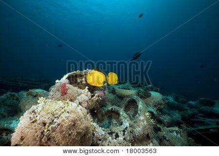 Masked Butterflyfish And Cargo Of Yolanda Wreck In The Red Sea.