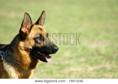 Alsation Shepherd